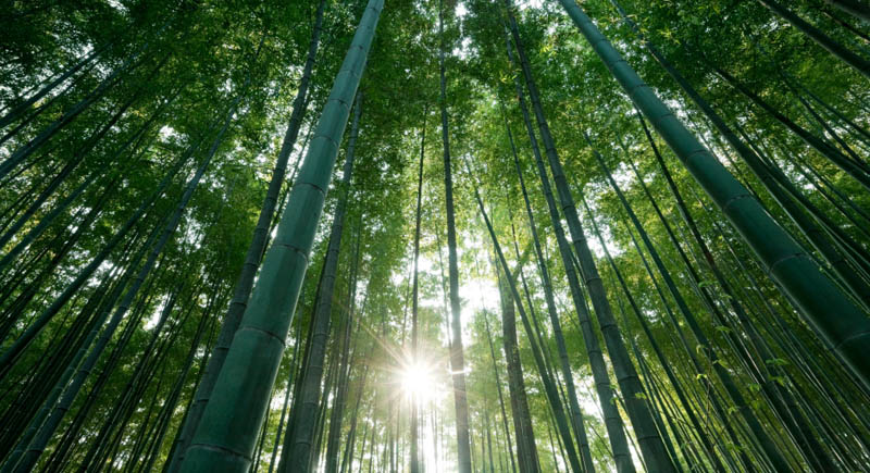 Bamboo Forest at Dawn